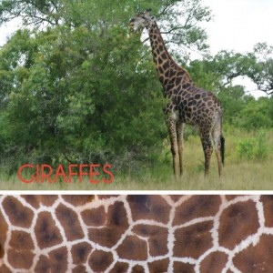 sabi sands, kruger national park, giraffe, south africa, effie's paper, stationery, stationary, modern stationary, personalized stationery, cool stationery, hip stationary, Kalyn Johnson, Kalyn Johnson Chandler, Possess Your STYLE